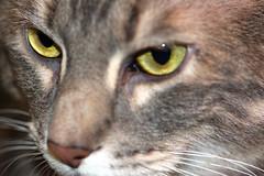 Cats Eyes (sccscc) Tags: cats macro eye cat eyes kitty kitties