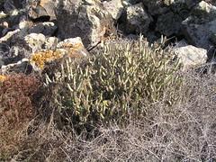 Oleanderblättrige Kleinie im Parque Corralejo Lago, Fuerteventura, NGIDn1240140429 (naturgucker.de) Tags: kleinianeriifolia naturguckerde cwolfgangkatz 1038097865 1062798284 1715776371 oleanderblättrigekleinie ngidn1240140429
