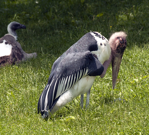 Maribau Stork 06-04-2011 1