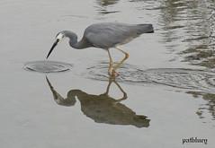 A grey Heron searching for food in Little Lake Warilla (pat.bluey) Tags: reflection birds australia newsouthwales 1001nights greyheron littlelake warilla flickraward 1001nightsmagiccity hganimalsonly hg~sb hennysanimals sunrays5