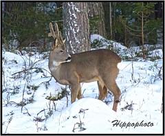 (hippophoto) Tags: winter snow nature beautiful animal animals canon landscape countryside vinter amazing sweden wildlife awesome country natur deer adventure sverige charming sn winterland roedeer hdr jmtland dyr friluftsliv landskap rdyr stersund rdjur vakkert canoneos550