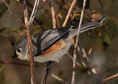Seedssssssssssssss.......... (l_dewitt) Tags: titmouse tuftedtitmouse backyardbirds wildlifephotos backyardbirdwatching birdsinthewild titmousephotos tuftedtitmousephotos