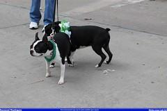 ohio dog green dogs st french puppies day bulldog parade stuff patricks akron 2014