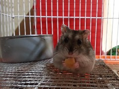 Comiendo quesito (Jorge Solís Campos) Tags: pet naturaleza nature animal rodent costarica hamster domesticanimals mascota roedor pérezzeledón animaldomestico animalesdomesticos