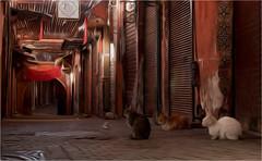 Three cats (Clive1945) Tags: art cat morocco maroc impressionism marrakesh impressionist d5000 gloucestercameraclub kempseycameraclub