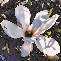 it may not rain.... (green-dinosaur) Tags: flowers white art petals spring colours close magnolia app iphone iphone4 iphoneography lifeinlofi mobitog suefagg wearejuxt theappwhisperer amptcommunity mokuapp