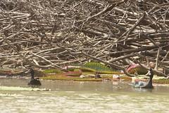 Muscovy ducks, Rupununi River in Guyana (inyathi) Tags: southamerica birds amazon rainforest ducks guyana waterlilies rivers rewa muscovyduck cairinamoschata