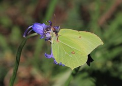 brimstone (colin 1957) Tags: macro nature wildlife butterflies insects