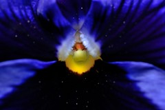 Drawn into Nature. (DigitalCanvas72) Tags: flower nature spring pansy deep blues bloom deepblues nikond3100 nikonsb700 nikkor40mm28gdxmacro