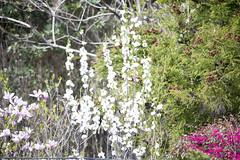 20140412-_DSC3805 (Fomal Haut) Tags: flower green spring nikon hana           nikond4  mineoka