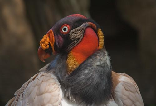 berlin bird fauna aves german vulture kingvulture pcc berlinzoo sarcoramphuspapa cathartidae berlinzoologicalgarden portlandcamerclub