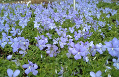 Viola cornuta 'Boughton Blue'