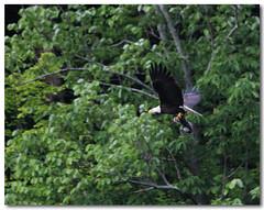 Bonnie Scores BIG!! (Tustin Designs) Tags: fish nature spring fishing flight baldeagle may raptor birdofprey 2014 southwesternpa dailynaturetnc12