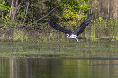Small Fry - 060115-085022 (Glenn Anderson.) Tags: food fish nature outdoors wings fishing nikon hunting flight beak sigma raptor folded splash approach
