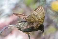 Starling (warren hanratty) Tags: bird wildlife starling gloucestershire sturnusvulgaris birdinflight nailsworth wildbird passerine