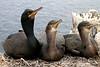 Shags on the Farne Islands (Craig Hannah) Tags: uk england bird nature birds islands wildlife young northumberland northsea chicks nationaltrust shag farneislands nesting 2015 craighannah