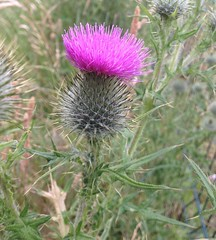 Thistle (alanpeacock2) Tags: pink weed thistle