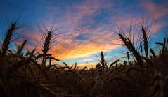 Wheat Sunset (special.k80731) Tags: colorado farm wheat farmland co greatplains winterwheat wheatharvest whitewheat