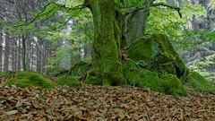 Wald im Vogelsberg (nordelch61) Tags: vogelsberg hessen wald urwald baum bäume ast äste zweig zweige wurzel wurzeln bemoost urig knorrig tree forest root roots