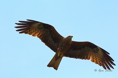 Kite in the sky (Igor Falin) Tags: animals wings bird black kite wildlife wild nature flying blue brown feather outdoors sky carnivore beak sunny claw summer