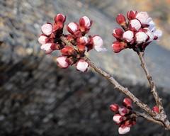 Apricot Blossoms (suenosdeuomi) Tags: blossoms canons90 santafe newmexico