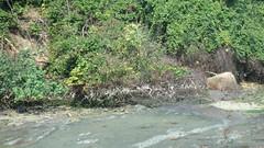 Chek Jawa boardwalk tour with the Naked Hermit Crabs (wildsingapore) Tags: threats oil spill guiding people chekjawa pulau ubin island singapore marine intertidal shore seashore marinelife nature wildlife underwater wildsingapore