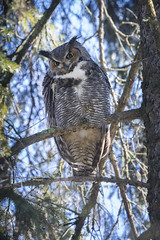 Great Horned Owl (M) (Peter Stahl Photography) Tags: greathornedowl owl winter male snow march alberta edmonton outdoors