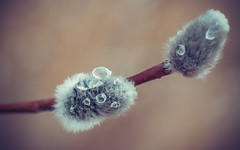 Icy Droplets (trm42) Tags: olympus finland pussywillow focus helsinki kevät olympusomd makro easter macro focusstacking em1 pääsiäinen pajunkissa spring droplets suomi ice