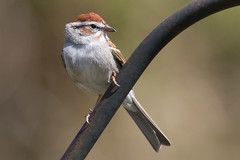 Chipping Sparrow 3-29-2017-15 (Scott Alan McClurg) Tags: emberizidae flickr passeri passeroidea spasserina spizella animal back backyard bird chipping chippingsparrow eat life nature naturephotography neighborhood perch perching songbird sparrow spring suburbs tree wild wildlife woods yard