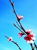 Lovely spring! (kallchar) Tags: nature flower almondstree sun sunny colors spring beautiful relaxing minimal smells flickr olympus olympusomdem10