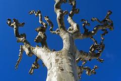 Tree in Teror (Jan van der Wolf) Tags: tree grancanaria sky boom teror pov frogperspective perspective perspectief plataan platanus plane
