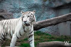 Felino (D.M.AlvarezFotografia) Tags: zoo huachipazoo parquehuachipa tigreblanco