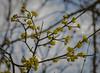European Cornel blossoms (frankmh) Tags: tree europeancornel blossom spring sofiero helsingborg skåne sweden outdoor