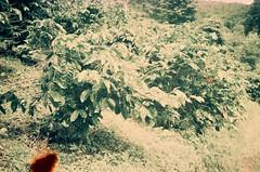 (shihhauchun) Tags: 35mm rangefinder rolleixf35 thailand northernthailand chiangrai akha akhatribe coffea 清萊 阿卡族