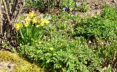 2017 Germany // Unser Garten - Our garden // im März (maerzbecher-Deutschland zu Fuss) Tags: 2017 garten natur deutschland germany maerzbecher garden märz unsergarten