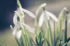 #Snowdrop - #Spring (graser.robert) Tags: 90mm adobe deutschland germany lightroom macro makro robertgraser tamron frühling look photographer schneeglöckchen snowdrop soft spring wiese reinstädt thüringen de