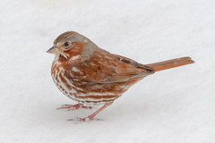 Fox Sparrow (tresed47) Tags: 2017 201703mar 20170315chestercountymisc birds canon7d chestercounty content folder foxsparrow home pennsylvania peterscamera places sparrow takenby us ngc npc
