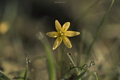 Morning star (oskaybatur) Tags: flower wildflower spring morning march 2017 oskaybatur türkiye turkey turkei nature pentaxk3 samyang dof bokeh ilkbahar mart çerkezköy trakya closeup mf gagealutea yellow waterdrop kırçiçeği çiçek pentaxart justpentax