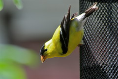 Goldfinch (beccafromportland) Tags: bird yellow gold finch mybackyard americangoldfinch