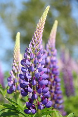 Lupins (friesen4) Tags: flowers flower wildflowers lupin lupins