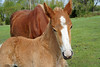 Beyond His Understanding (Roofer 1) Tags: horse mare belgian colt workhorse sunrays5