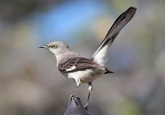 Sentinel (Jim Farley) Tags: ca june 14 oceanside northern mockingbird mimus guajome 2013 polyglottos