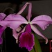 L. purpurata v. venosa – Sandi Sandquist