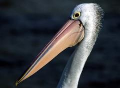 Pelican Portrait (r+r photography) Tags: film nature birds nikon wildlife australia pelican southaustralia f90x goolwa explored
