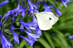 Large White Butterfly Pieris Brassicae (Seventh Heaven Photography) Tags: flowers blue summer england white flower nature butterfly garden wings shropshire britain wildlife large butterflies bloom british pollen blooms agapanthus pieris nikond3200 brassicae lopidoptera