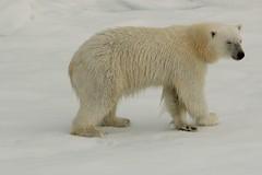 The Polar Shuffle (Derbyshire Harrier) Tags: summer female svalbard arctic polarbear cropped spitsbergen seaice ortelius naturetrek packice 2013 higharctic
