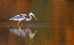 Great Blue Heron Missed A Fish. (Tom Stanley Janca) Tags: arizona heron greatblueheron artphoto gilbertriparianpreserve riparianpreserveatwaterranch tomstanleyjanca jancasartphoto jancasoriginaldigitals