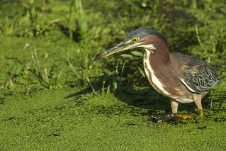 Green Heron - Aug-30-2013 (54-1)