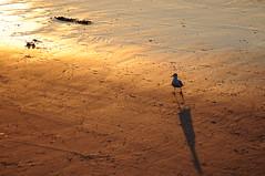 Möwe im Sonnenuntergang (Frau Koriander) Tags: lighting light sunset sea mer france beach strand licht frankreich meer sonnenuntergang seagull möwe nordpasdecalais plage calais englishchannel lamanche outofthebox ozean côtedopale ärmelkanal nikond300s