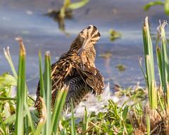 Snipe Preening (Andrew Haynes Wildlife Images) Tags: